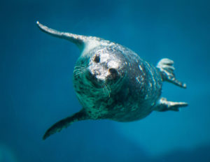 Harbor seal for World Ocean Weekend