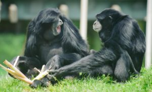 Two siamangs playing