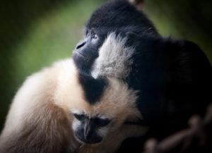 White cheeked gibbons Bobby and Sunisa.