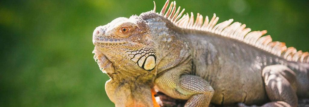Iguana for Hours