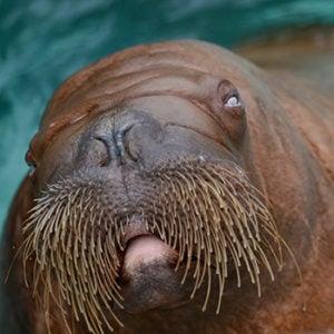 Basilla the walrus