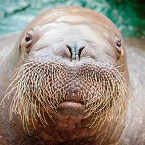 Joan the walrus