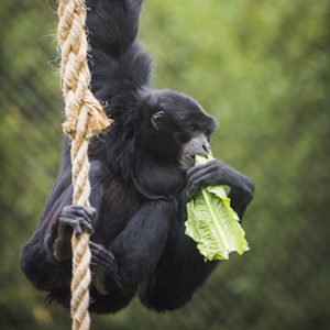 Cho cho the siamang