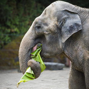 Suki the elephant eats a banana leaf