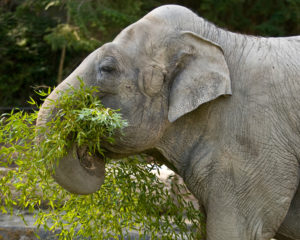 Suki the elephant eating browse