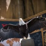 Bald eagle for Veterans Day Weekend