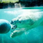 Polar bear swimming with ball for End of Summer blast