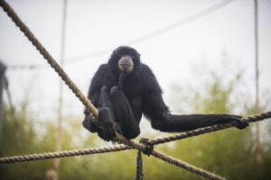 Siamang Cho Cho on ropes in habitat