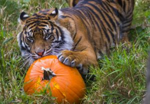 zoo boo tiger pumpkin