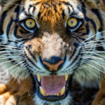 Tiger roaring for World Tiger Day