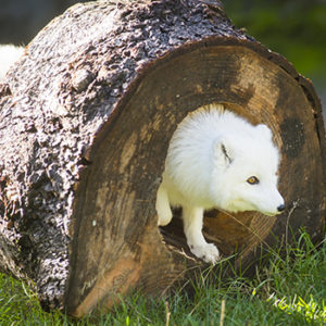 Arctic fox maggie maybe