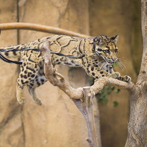 Orchid Clouded leopard in Wild Wonders