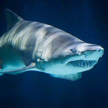 Sand tiger shark for Sharks