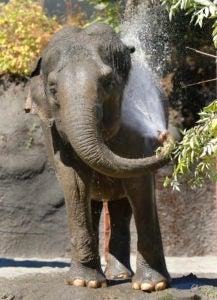 Hanako the elephant.