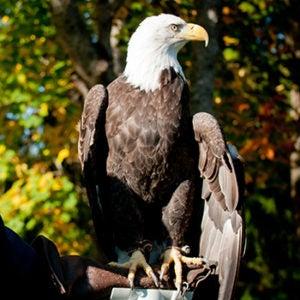 Tahoma the bald eagle