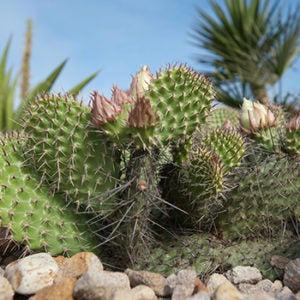 Cactus plant for deserts