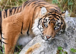 Tiger on rock