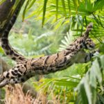clouded leopard leaping