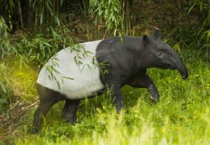 Yuna the tapir in long grass
