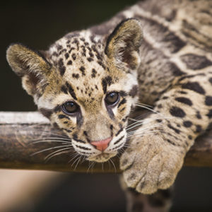 Banyan the clouded leopard
