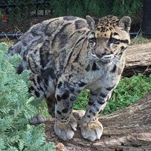 Josie the clouded leopard