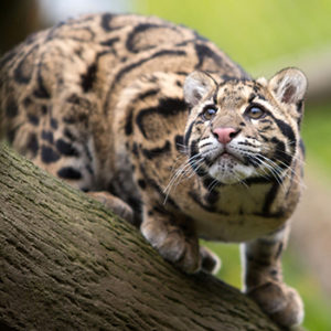 Sang Dao the clouded leopard
