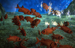 Red soldierfish in Baja Bay