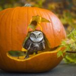 Burrowing owl in pumpkin