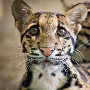 Clouded leopard Chai Li