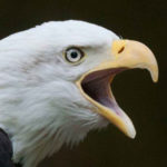 bald eagle head for Endangered Species Act
