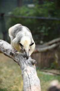 Terra the tamandua on a log