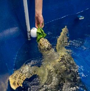 hand feeding turtle