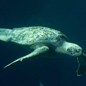 Green sea turtle in Baja Bay Pacific Seas Aquarium