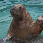 rocky shores walrus wave