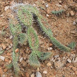 octopus cactus plant