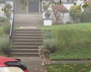 Coyote on city sidewalk