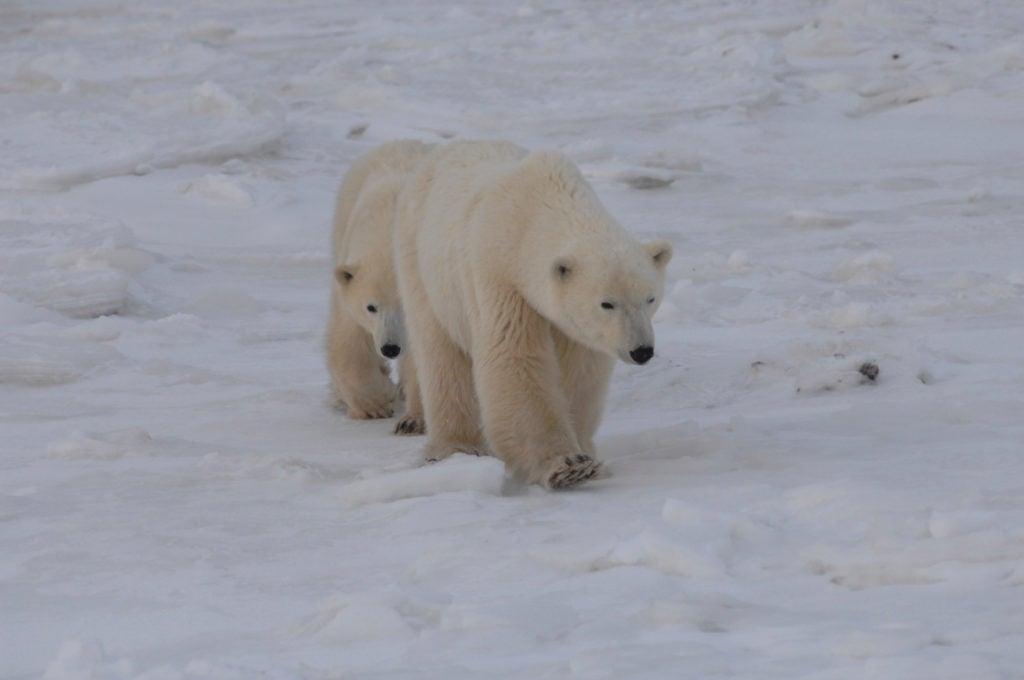 polar bear pair on snow