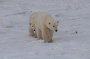 polar bear pair on snow