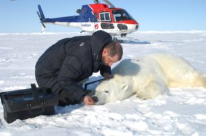 polar bear tagging helicopter