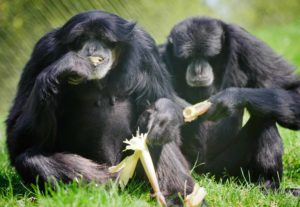 Cho Cho and Dudlee the siamangs eating on the grass
