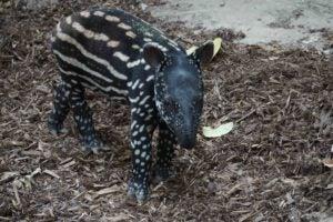 A tapir calf.