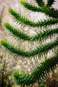 monkey puzzle branch