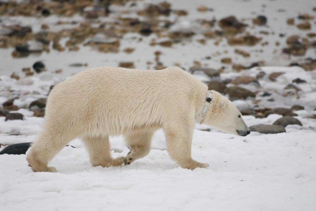 polar bear with radio collar