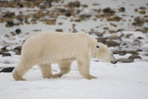 polar bear with radio collar