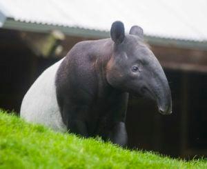 Baku the tapir.