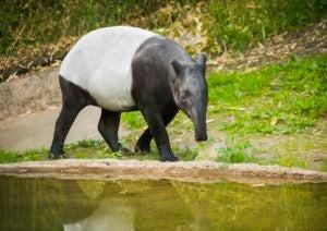 Yuna the tapir.