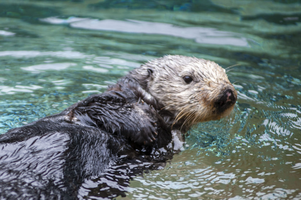 Moea the sea otter