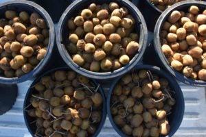 kiwi buckets in truck