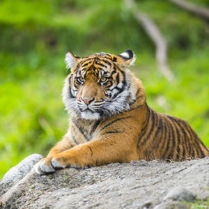 Kirana the tiger on rock