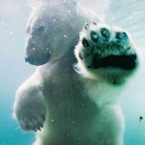 polar bear in pool